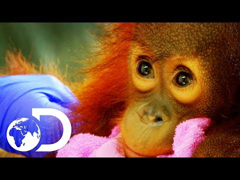 Peanut: The Adorable 15 Month Old Orangutan Baby | Meet The Orangutans