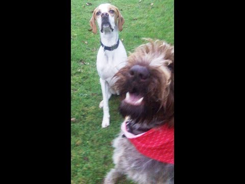 English Pointer Gizmo with German Wirehaired Pointer Suggs.