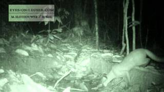 golden cat and black golden cat (eyes on leuser / BPKEL)