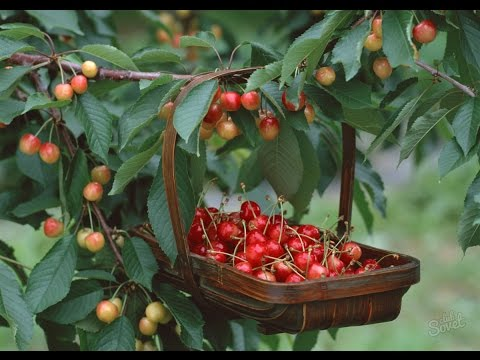 Как получить большой урожай черешни в средней полосе?