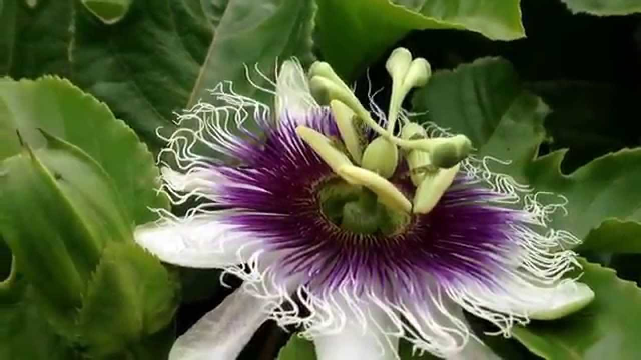 Yellow Passion Fruit Flowers Youtube