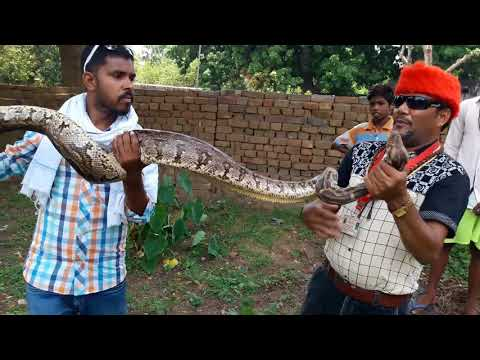 Non Venomous Snake Indian Rock Python rescue in store room snake rescue team Panchet dam(N G O)