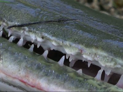 Huge, Toothy Fish Seen as Weapon vs. Asian Carp