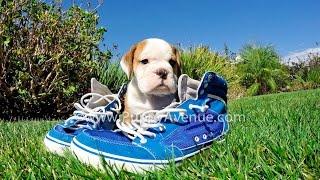 Big Ted The Joyful Bugle (75% English Bulldog X 25% Beagle) Hybrid Male Puppy For Sale.