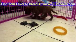 Cavalier King Charles Spaniel, Puppies, For, Sale, In, Columbus, Ohio, Oh, North Ridgeville, Mason,