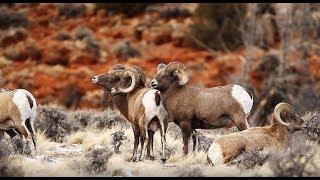 Wind River Basin Bighorn Sheep - Wild Photo Adventures