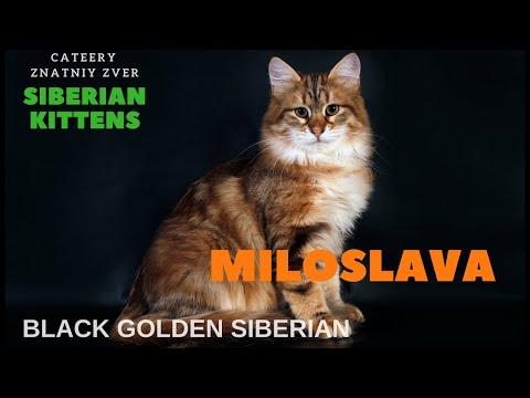 Miloslava Znatniy Zver , siberian kitten, female 7 months,