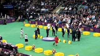 137th Westminster Dog Show Toy Group 2/11/2013