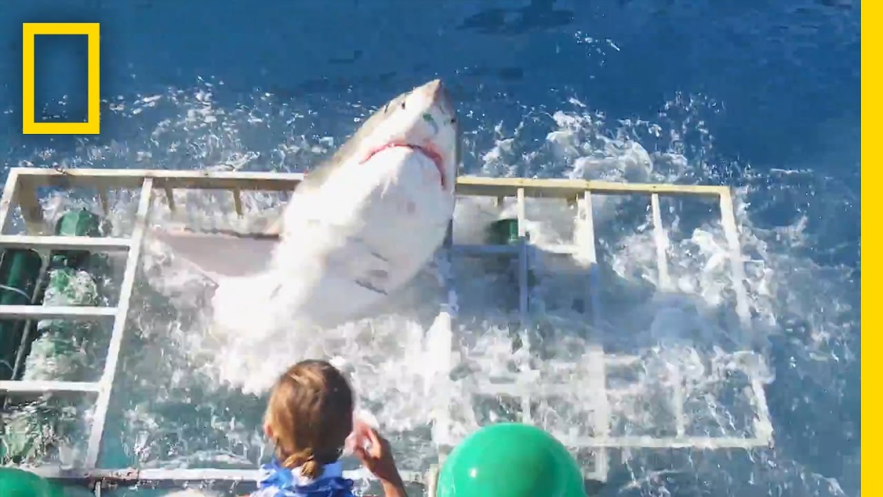 Diver Narrowly Escapes When Great White Shark Breaks Into Cage | National Geographic