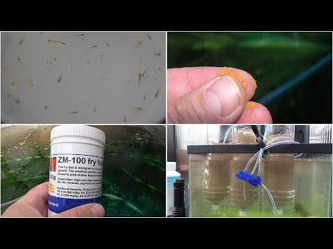 My Koi Breeding Project - Part 7- The Fry Hatch