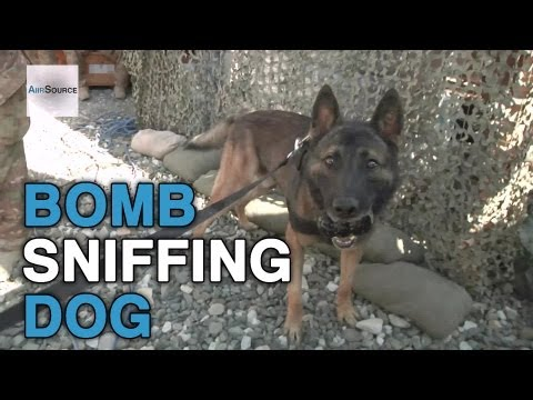 Tactical Explosive Detection Dog Training