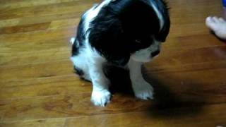 Cavalier King Charles Spaniel Training Elly