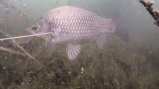 Подводная охота на вкусного карася!(Посетил 4 разных водоёма в поисках рыбы, в итоге на двух последних удалось добыть карасиков. Прозрачность..., 2016-07-24T08:19:40.000Z)