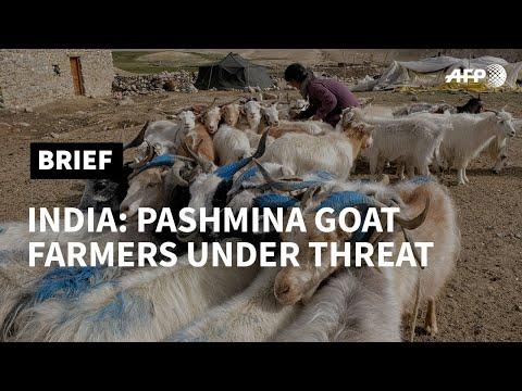 AFP News Agency: Under threat: India's pashmina-producing nomads | AFP