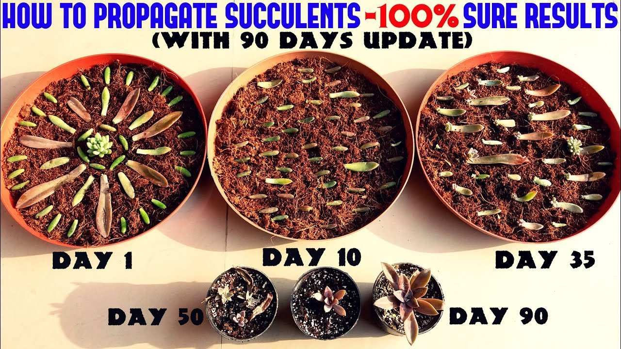 propagate succulents like a pro full information youtube. Black Bedroom Furniture Sets. Home Design Ideas