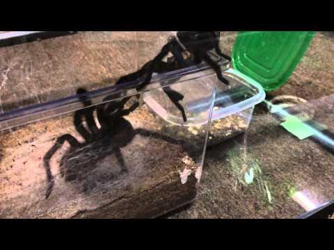 Phormictopus Cancerides Breeding