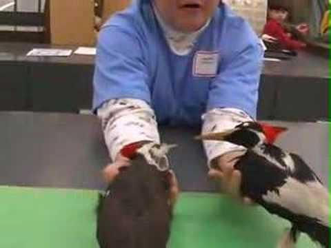Is It Extinct? - Ivory-Billed Woodpecker