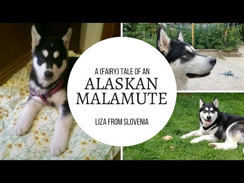 A (Fairy) Tale of an Alaskan Malamute