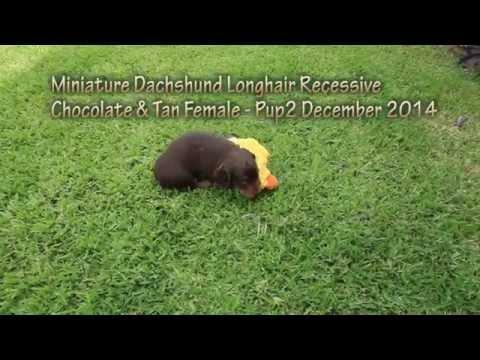 Chocolate & Tan Mini Long Dachshund Female Puppy - 5 Weeks old