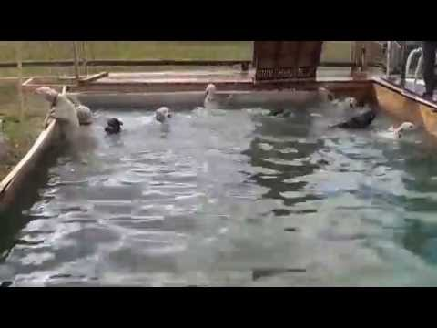KennelsWest sled dogs cross training swimming
