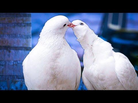 """Иван Тургенев. """"Голуби"""" (Стихотворение в прозе) Читает Павел Морозов"""