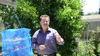 Сушка персиков.  Как приготовить вкуснейшие и очень полезные сухофрукты. Владимир Красный.