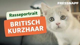 Britisch Kurzhaar Rasseportrait   FRESSNAPF