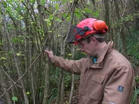 Coppicing Hazel woodland at Slapton Ley NNR to aid the Dormice population