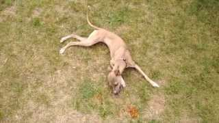 Bella The Italian Greyhound, she loves to play  - IGG dogs - Italian Greyhound Puppy