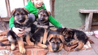 АНЯ  и её ЩЕНКИ НЕМЕЦКОЙ ОВЧАРКИ. Продаются щенки. Anna and her German Shepherd puppies.