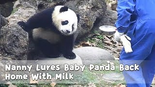 Nanny Lures Baby Panda Back Home With Milk | iPanda