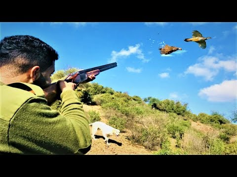 chasse perdrix au maroc 2019 | Partridge hunting with english pointer dogs