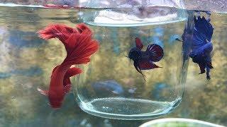 mostrando la belleza del pez betta sin tener que pelear