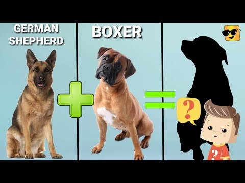 10 Incredible Mixed Cross Hybrid of Boxer | Finest Dog cross breeds