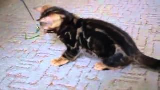 LantanaFly питомник бенгальских кошек - Bruno (мрамор)