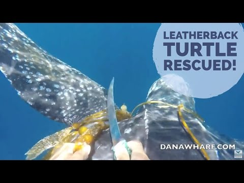 Enormous Leatherback Turtle Rescued