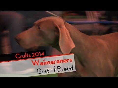 Crufts 2014 - Weimaraners Best of Breed