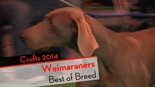 Crufts 2014 - Weimaraners Best Of Breed