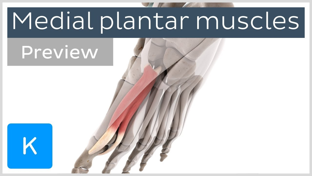 Functions of the medial plantar muscles of the foot (preview) - Human 3D  Anatomy | Kenhub