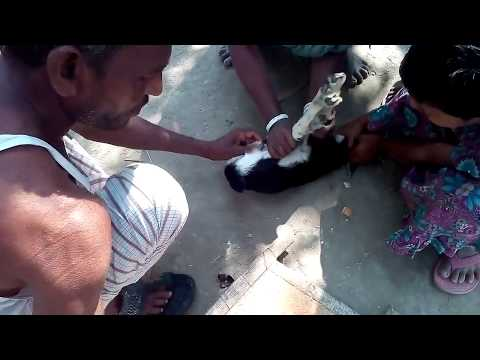 How to castrated a male goat