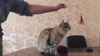 Мейн-кун кот Дэн 8 месяцев