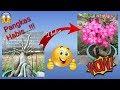 Cara Membuat Bonsai Adenium Berbunga Lebat