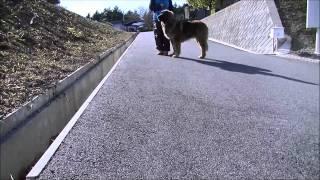 大型犬、レオンベルガーの情報はこちらから http://www.masaki-collecti...