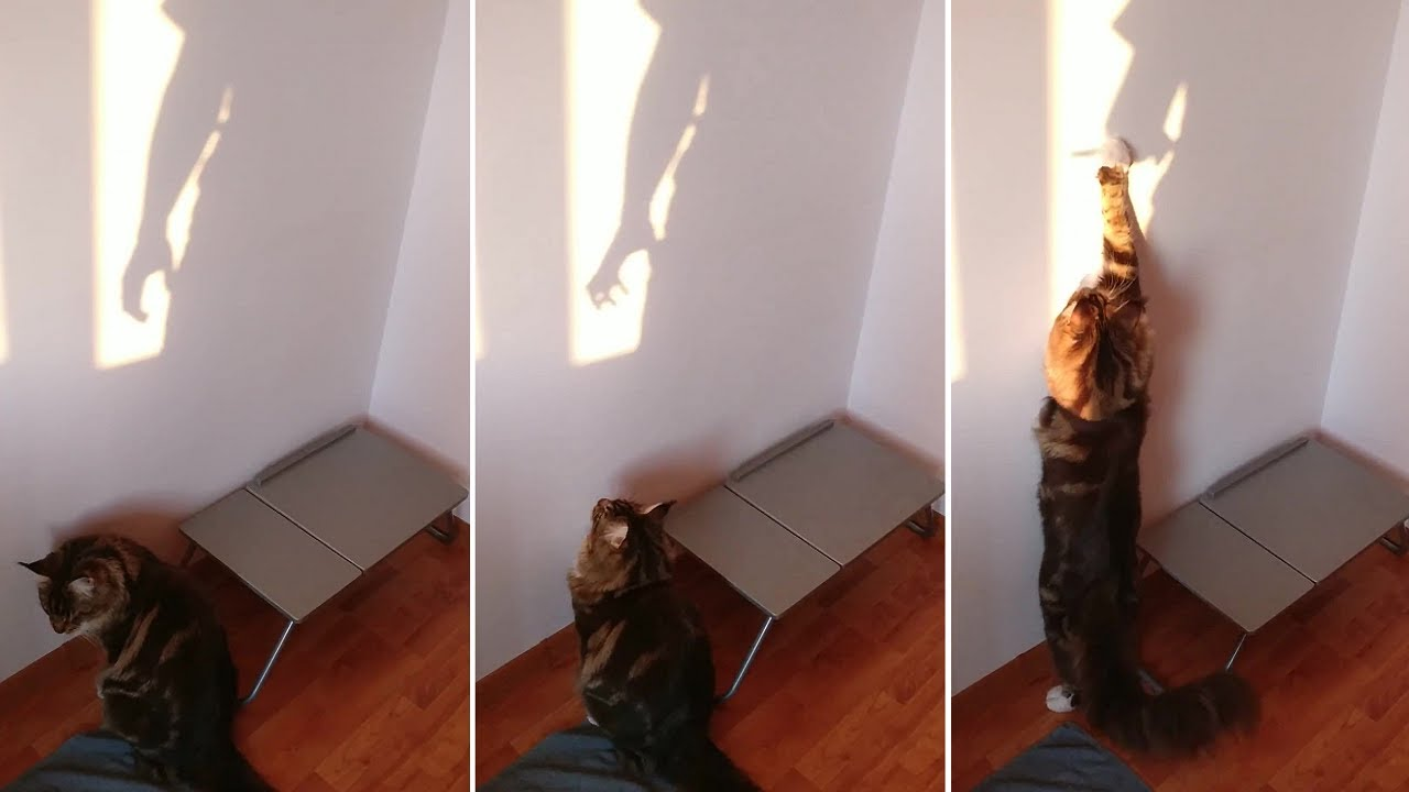 Maine Coon kitty tries to catch hand shadows on the wall
