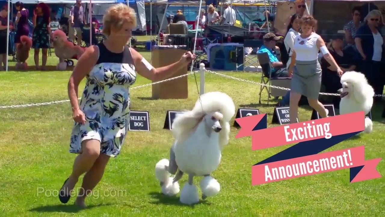 Poodle Dog | Admiration Standard Poodles