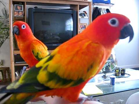 Red Factor Sun Conures bit a hole in their Dad's shirt