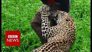 Wild leopard attacks Indian village - BBC News