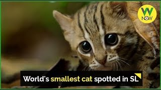 World's smallest cat spotted in SL