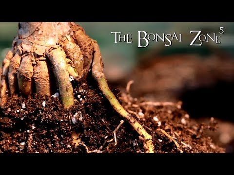 Starting a Dragon Tree Bonsai, Feb 2018