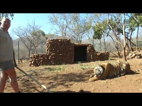 Animal wrangler, TIGERMAN, training Bengal Tigers for film shoots (Part 1 HQ)